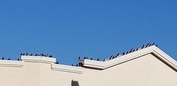 Pigeon-Killer Instinct Pest Control Services Las Vegas