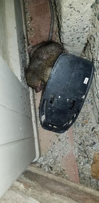 Rodent-Killer Instinct Pest Control Services Las Vegas