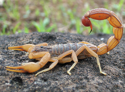 Scorpion control services Las Vegas