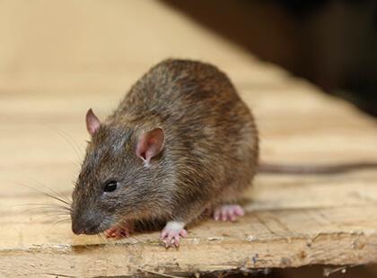 Rodent control services Las Vegas
