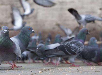 Pigeon control services Las Vegas