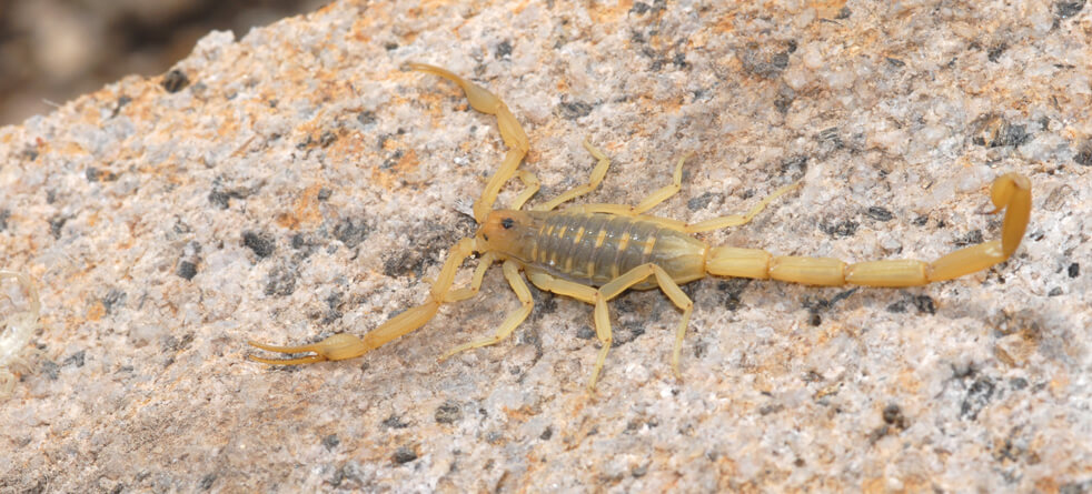 Scorpion control Las Vegas
