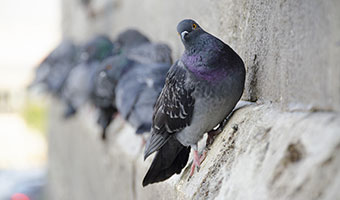 Pigeon control services